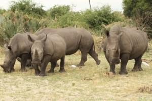 Botswana: il ripopolamento dei rinoceronti priorità per il Paese