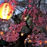 Altreculture invita in Giappone per l'Hanami