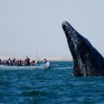 Seven Days in Guadalupa, incontri ravvicinati con le balene