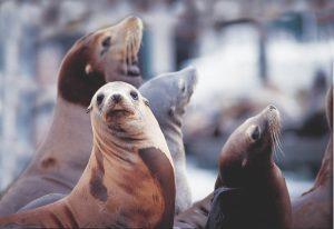 San Francisco: tappa al Pier 39 per conoscere i leoni marini