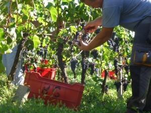 """Il Trentino Alto Adige invita a """"Cantine Aperte in Vendemmia"""""""