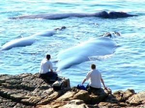 Alidays in Sudafrica per l'Hermanus Whale Festival